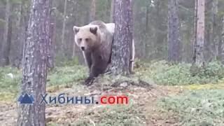 Медведь на роднике у Оленегорска(http://www.hibiny.com/news/archive/116910., 2016-10-02T11:26:00.000Z)
