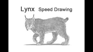 Lynx Time-lapse / Speed Drawing