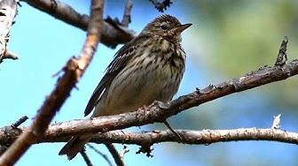 Metsäkirvinen varoitusääni (Tree Pipit warning call) Anthus trivialis