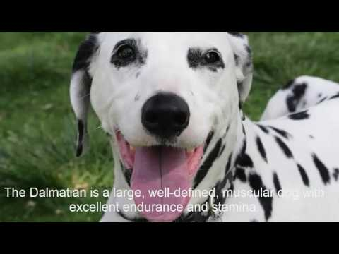 Dalmatian Dog Breed - Things to Know