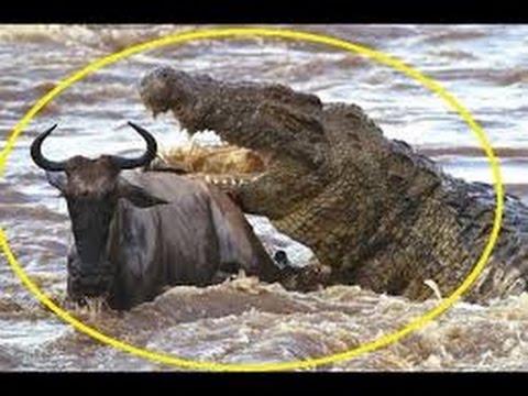 The mysterious killer Crocodile King Croc Nat Geo Wild Documentary
