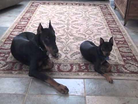 Doberman Puppy And Miniature Pinscher Youtube