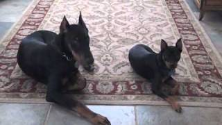 Doberman Puppy And Miniature Pinscher