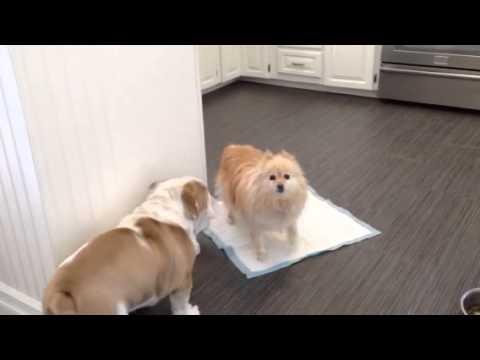English Bulldog Puppy Meets Pomeranian Youtube