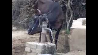 Do you Know how to use an HandPump, to draw water ??...This Intelligent Indian Cow does..