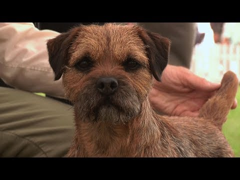 Southern Counties Dog Show 2017 - Terrier group Highlights