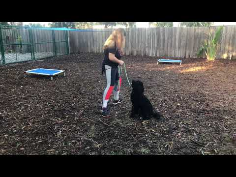 Sophie | Portuguese Water Dog | Obedience w/Dogs