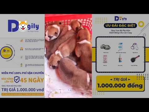 Đàn Akita Inu Nhật bản 3 ngày tuổi, bố mẹ nhập Nga, Full VKA | DOGILY PET SHOP
