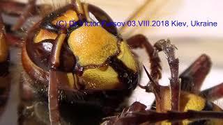 Шершень Враг Пчеловода, Портрет: Жало и Улыбка!