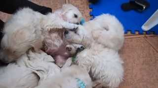 English Cream Golden Retriever Puppies Are Tired After Their First Swim!