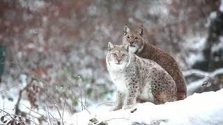 Очаровательные рыси в дикой природе! Amazing and beautiful lynx in wild!