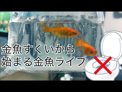 連れて来ちゃったお祭りの金魚、どうする!? 〜お祭りの金魚を飼おう(初夜編)〜