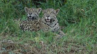 2019 International Jaguar Day