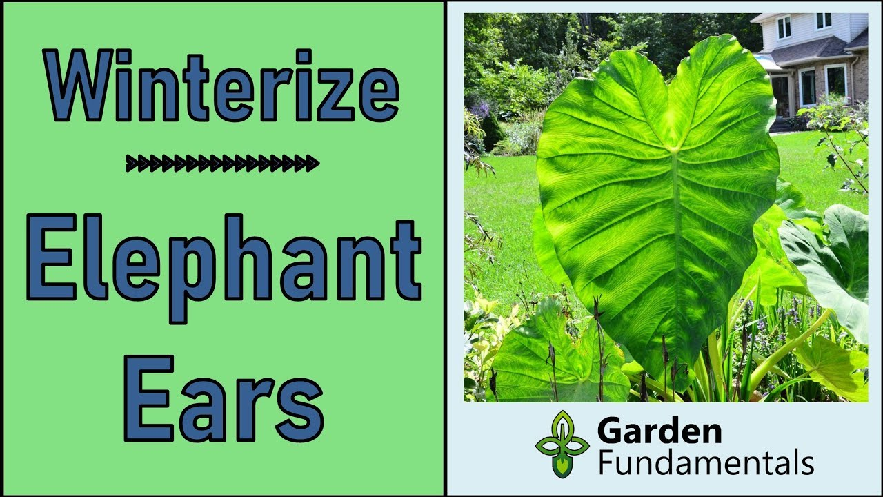 Best Method To Overwinter Elephant Ear Bulbs Colocasia And