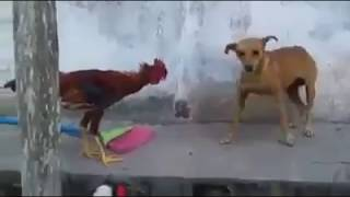Ayam Vs Anjing Berkelahi Ayam Menang ☆