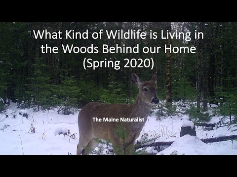 What Kind Of Wildlife Is Living In The Woods Behind Our Home   Spring 2020