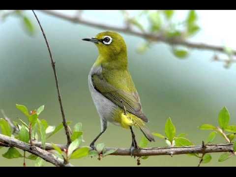 Khuyên mái kích thích chim trống hót líu Vip -