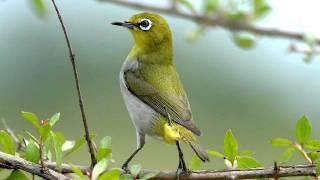 Khuyên mái kích thích chim trống hót líu Vip