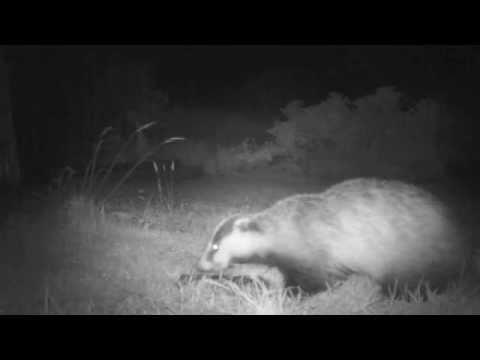 Pine Marten (Martes martes)  meets Badger (Meles meles)