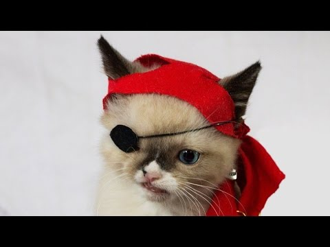 картинки кот пират