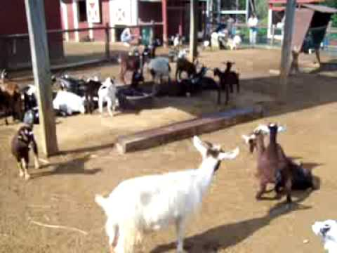 What does a Goat Say Maahaaa - YouTube