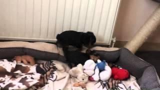 Yorkshire Terrier Welpen, Kräftige Mini Yorkis!!