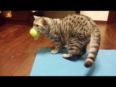 Британские котята -...