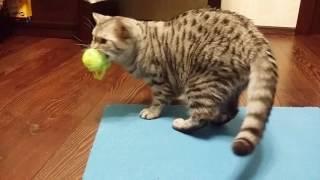 Британские котята - мама учит играть