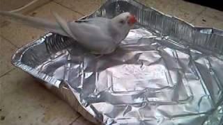 Ожереловый попугай Нюша