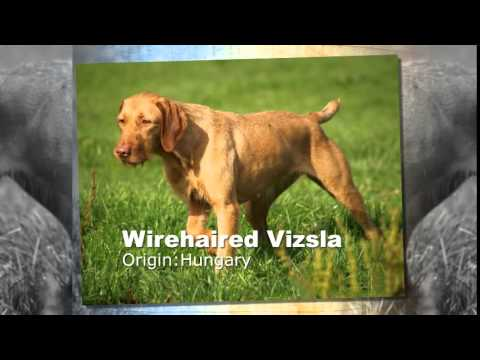 Wirehaired Vizsla Dog Breed