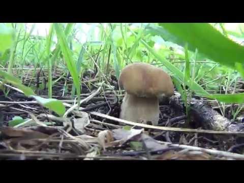 Белые грибы. Тайга сбор белых грибов, земляники, трав. Охота, рыбалка, сибирь, грибы