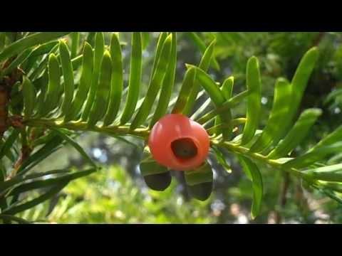 TEJO: Taxus baccata (http://www.riomoros.com)
