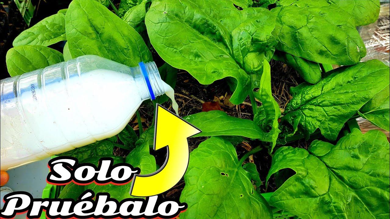 Despues de ver esto jamas volveras a comprar fertilizante | Abono casero Organico