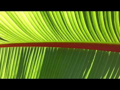 Ethiopian banana - Ensete ventricosum - Ensete ventricosum HD 02