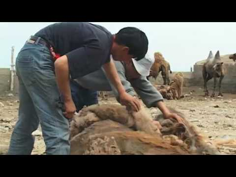 Camel Shearing in Kazakhstan