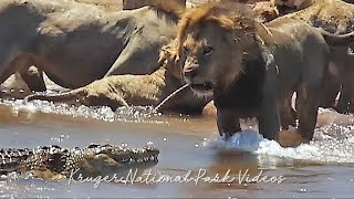 Lion Pride Vs. Waterbuck Vs. Crocodile in Battle at Kruger Park Full Video.