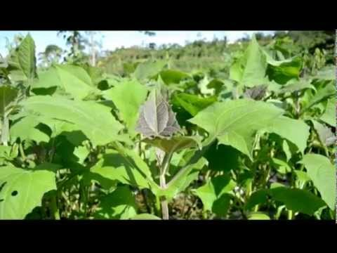 Daun Yakon Smallanthus Sonchifolius Daun Insulin OBAT