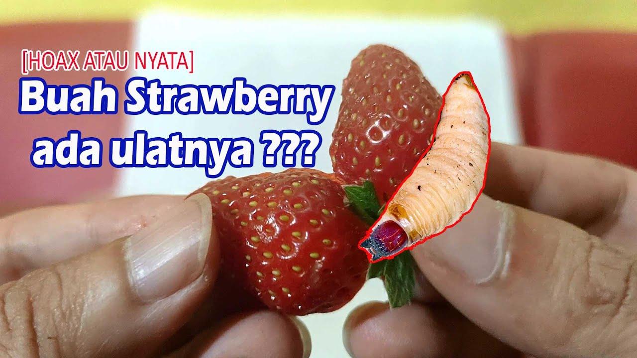 [Hoax atau Nyata] Eksperimen Buah Strawberry mengandung ulat atau larva