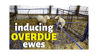overdue-ewes-i-decided-to-induce-them-here-s-how-vlog-215