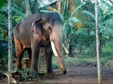 THECHIKOTTUKAVU RAMACHANDRAN 2016/elephant
