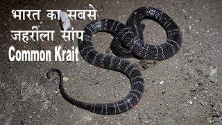 पहचाने भारत के सबसे जहरीले सांप को और किस तरह काटता है देखे   krait   Kamal choudhary 9755695959