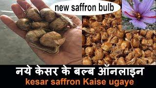 केसर (kesar) कैसे उगाएं. How to grow saffron at home. saffron bulbs online. kesar seeds bulb online