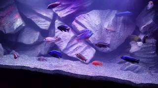 African Cichlid Update And Adding Eco Complete Cichlid Sand Youtube
