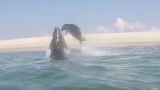Seal Narrowly Escapes Great White Shark's Bite in Mid-Air Collison