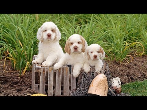 60 Seconds Of Cute Clumber Spaniel Puppies Youtube