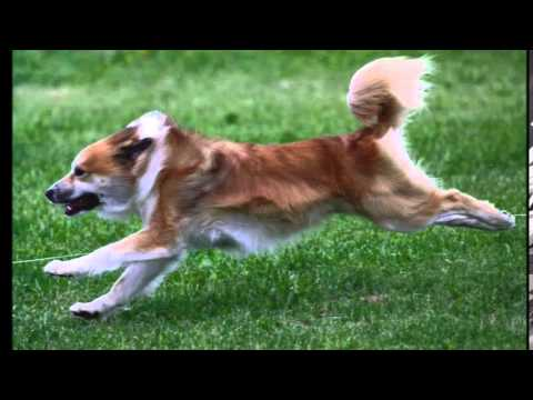 Meet the Icelandic Sheepdog