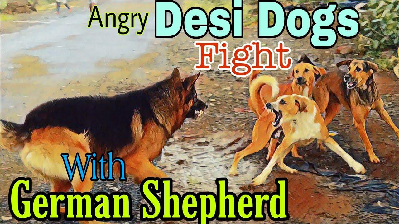 Download Desi Dogs Vs German Shepherd Fight   Dog Fight Close Encounter #4