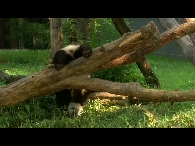 Panda Bei Bei undergoes emergency surgery