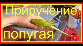 Как приручить попугая с помощью лакомства. Чумиза для приручения попугая #Птицы