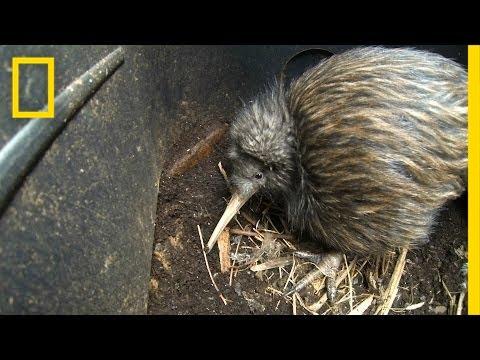 Bizarre, Furry Kiwi Bird Gets a Closer Look | National Geographic